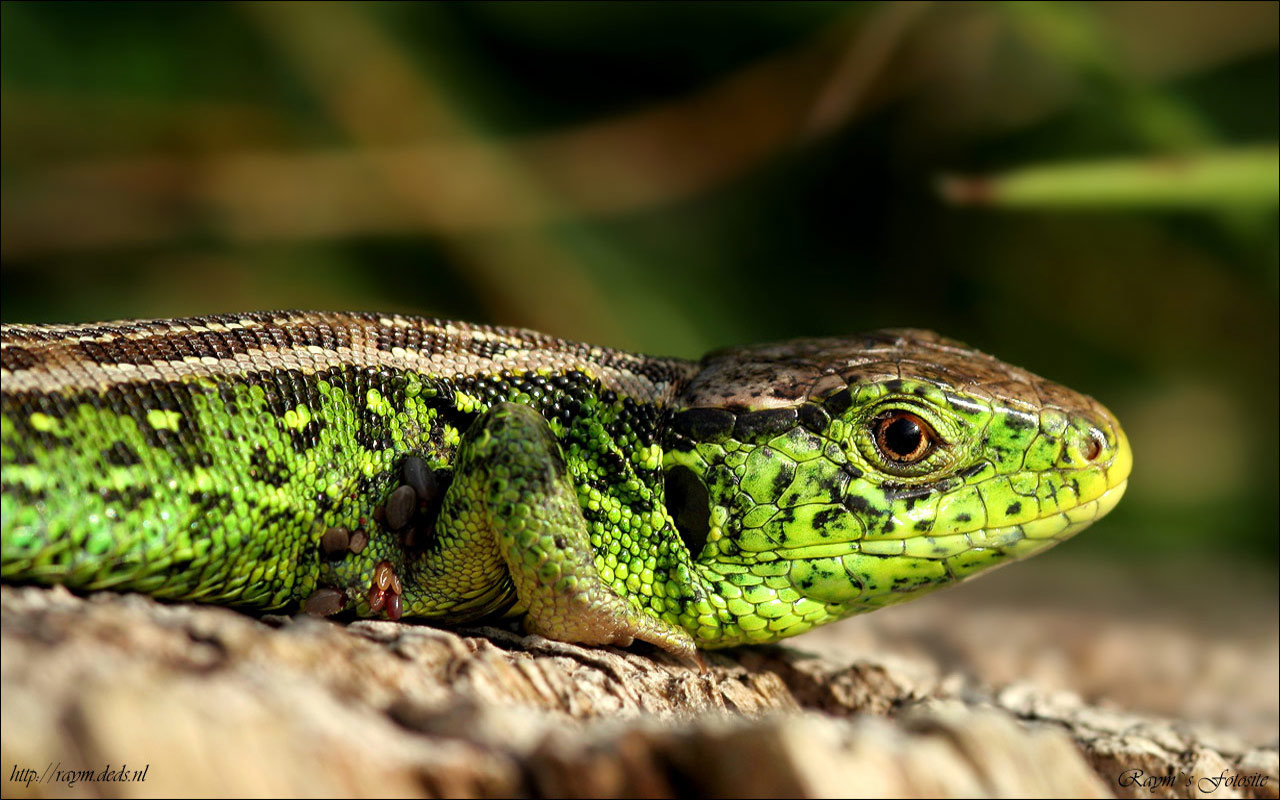 High resolution Lizard hd 1280x800 background ID:443956 for PC