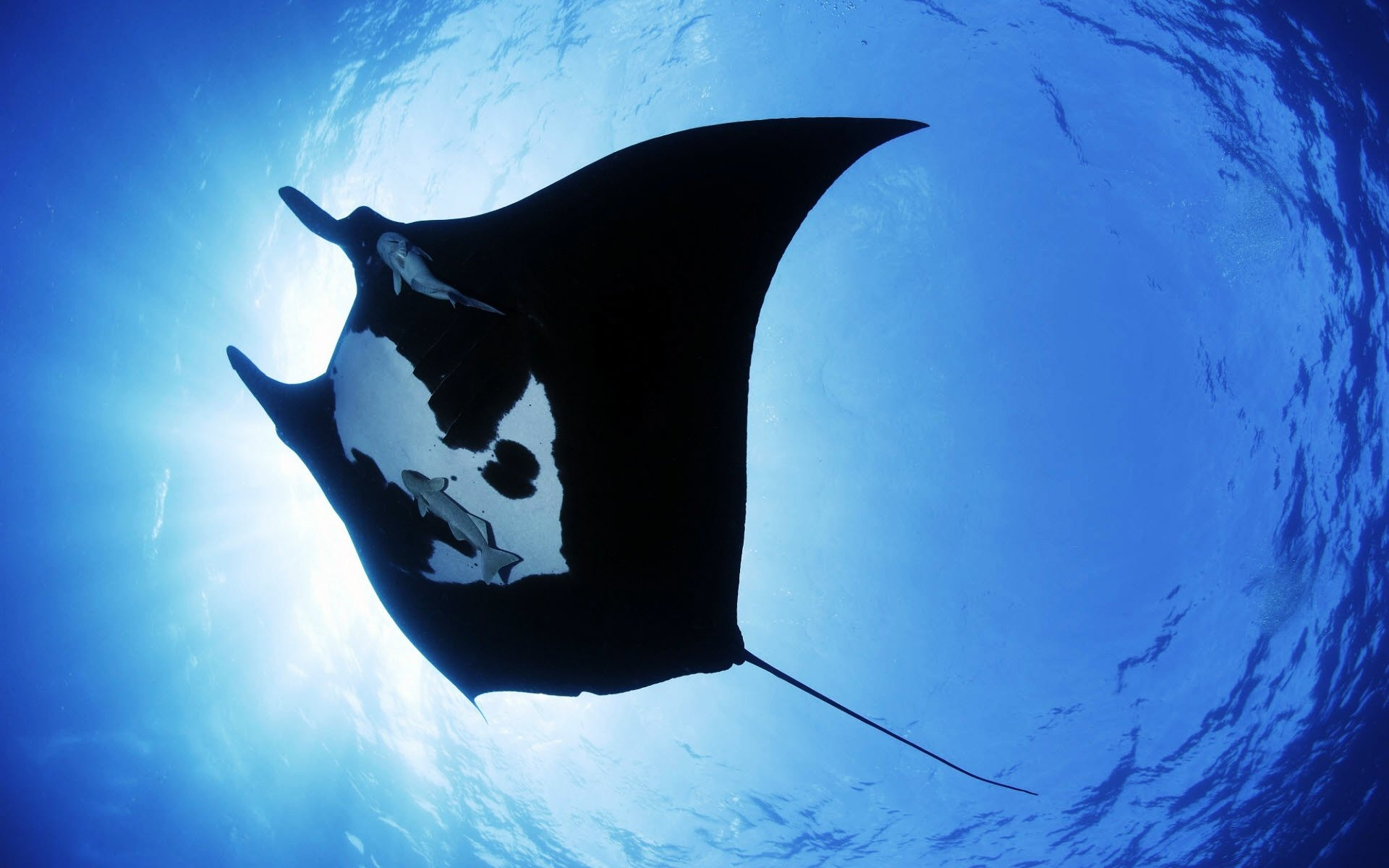 Free download Manta Ray background ID:346051 hd 1920x1200 for desktop