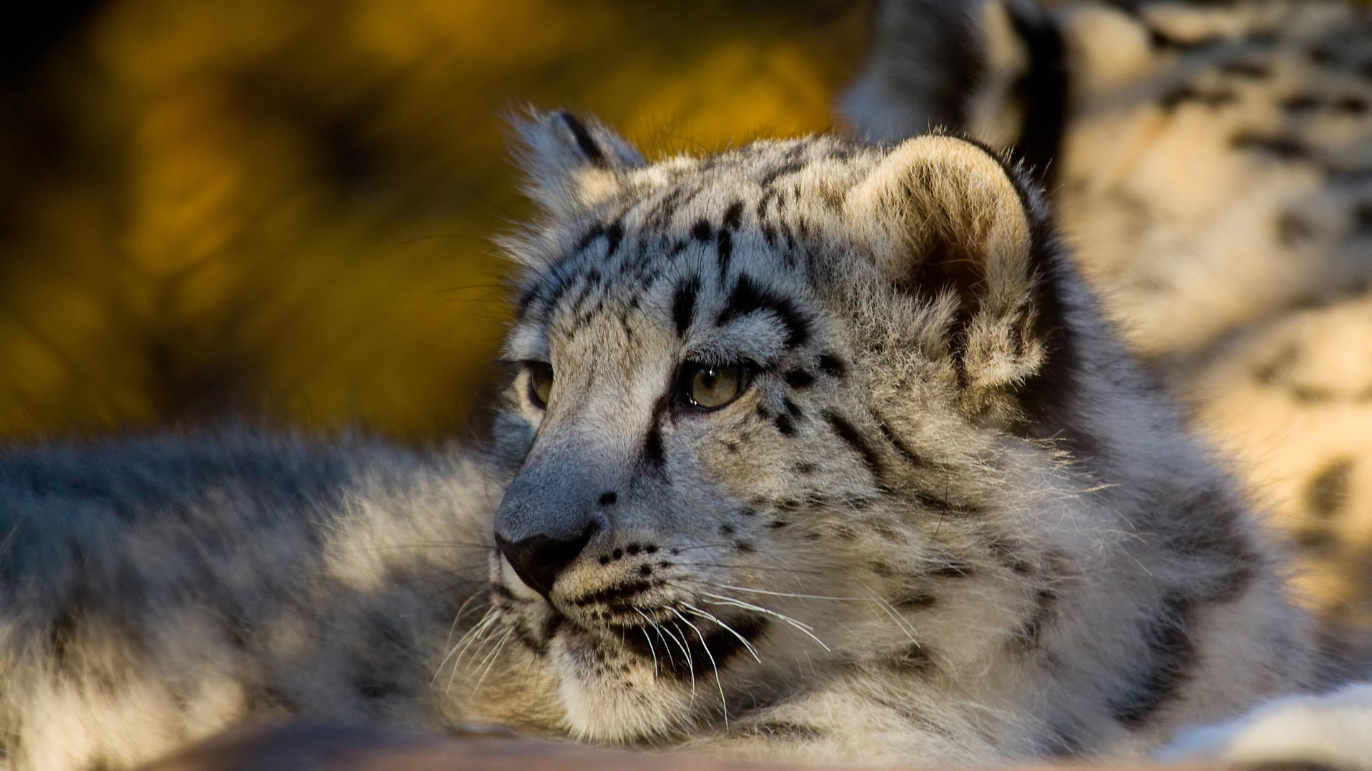 Free Snow Leopard high quality background ID:34539 for 1080p computer