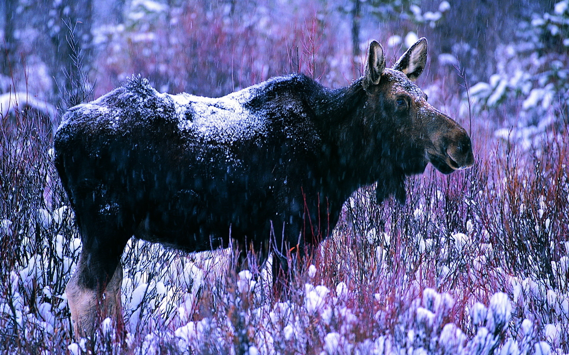 Awesome Moose free wallpaper ID:346760 for hd 1920x1200 PC