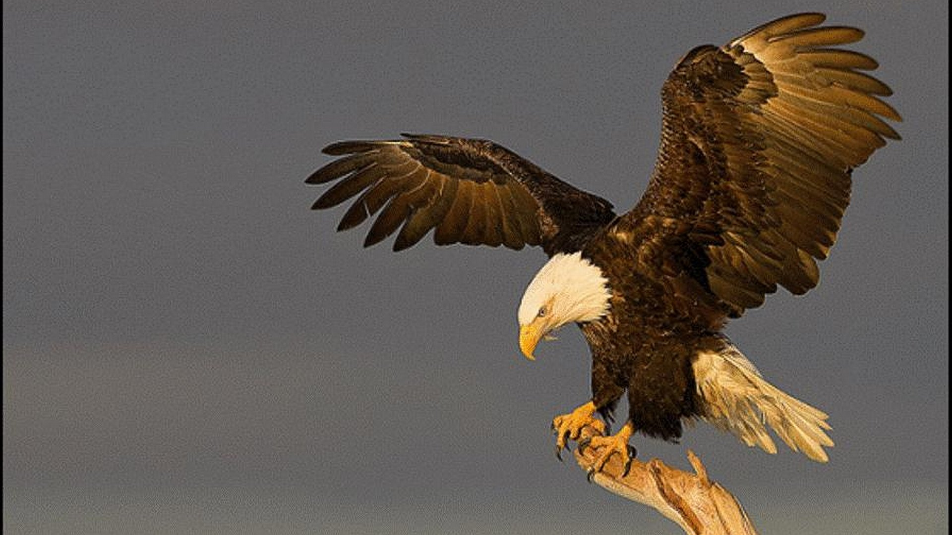 Best Eagle wallpaper ID:231214 for High Resolution hd 1080p PC