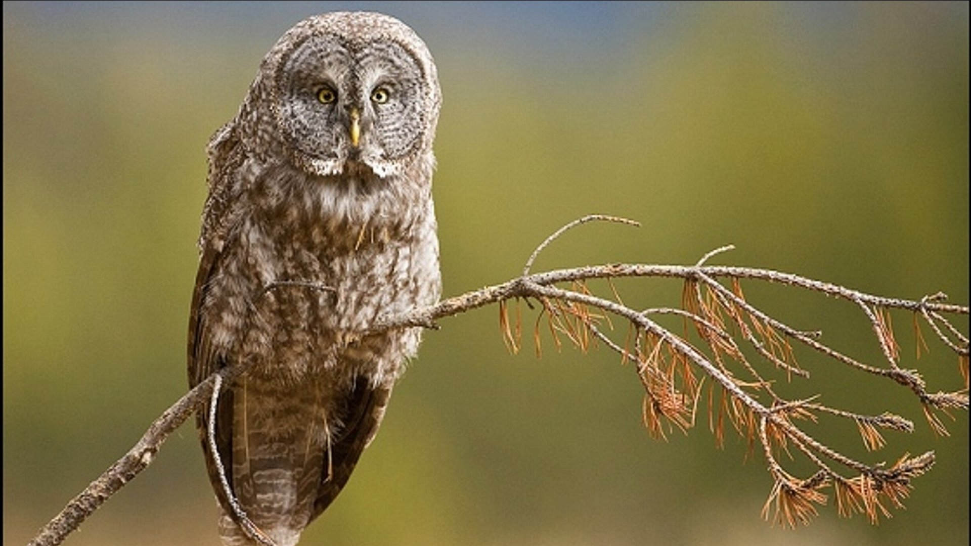 Download 1080p Great Grey Owl PC wallpaper ID:235131 for free
