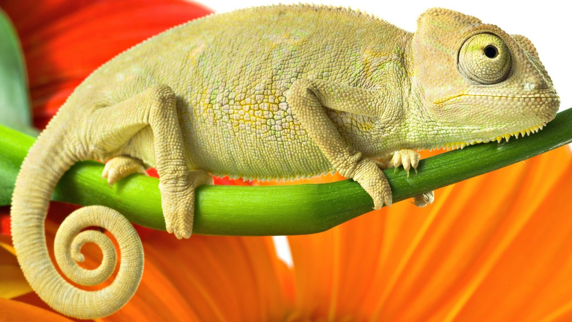 Best Chameleon wallpaper ID:462599 for High Resolution full hd 1080p computer