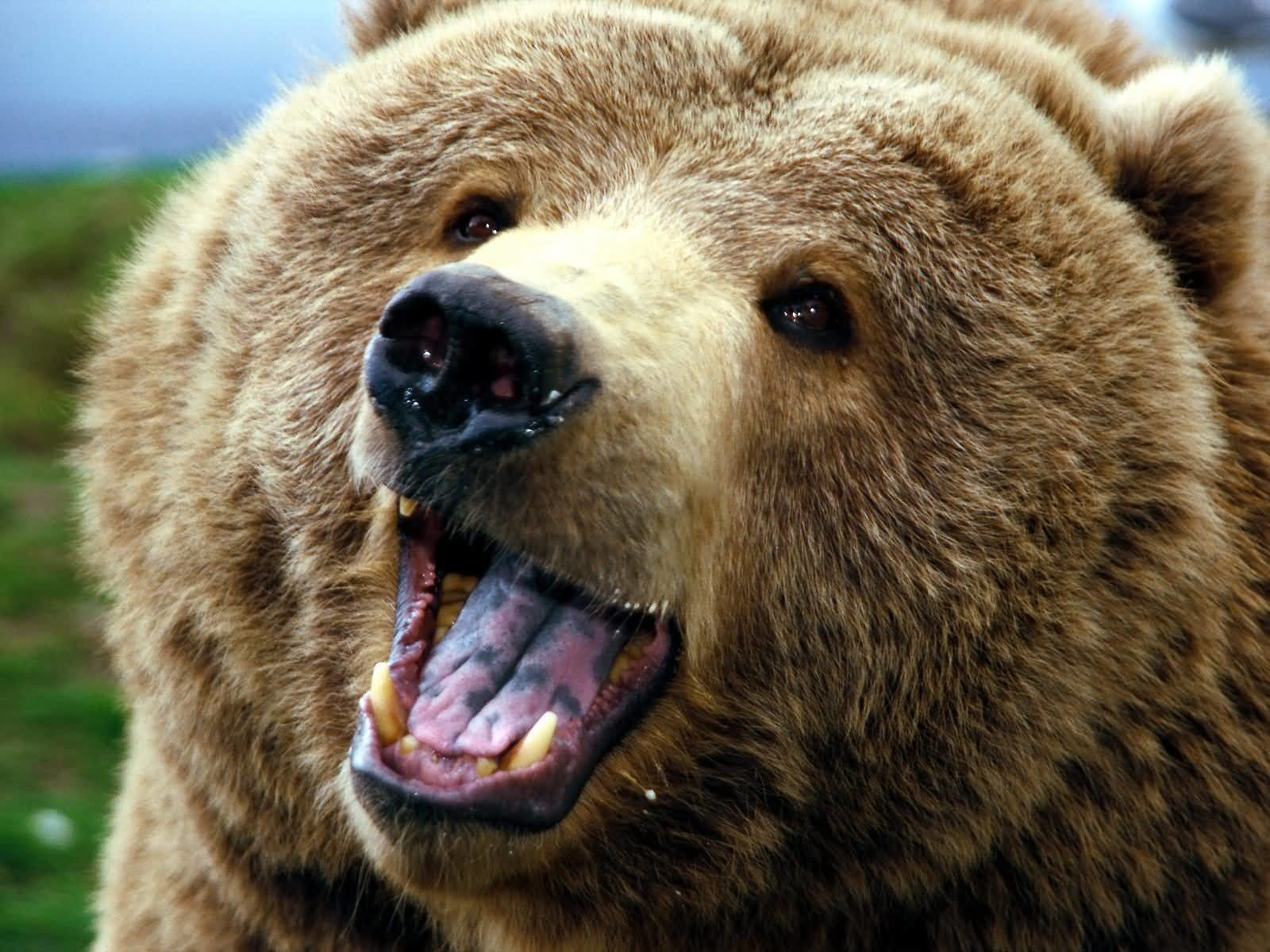 Best Bear wallpaper ID:352995 for High Resolution hd 1600x1200 PC