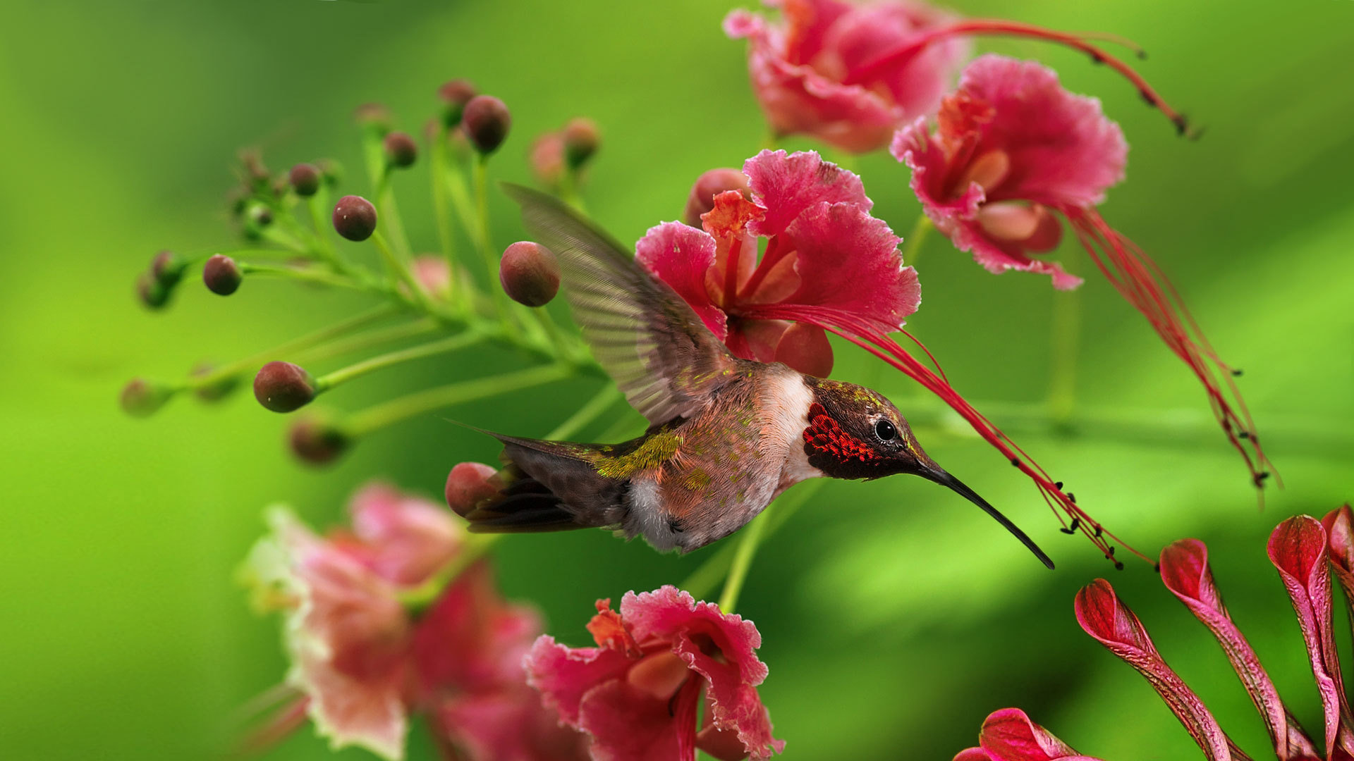 Download hd 1080p Hummingbird desktop background ID:215792 for free