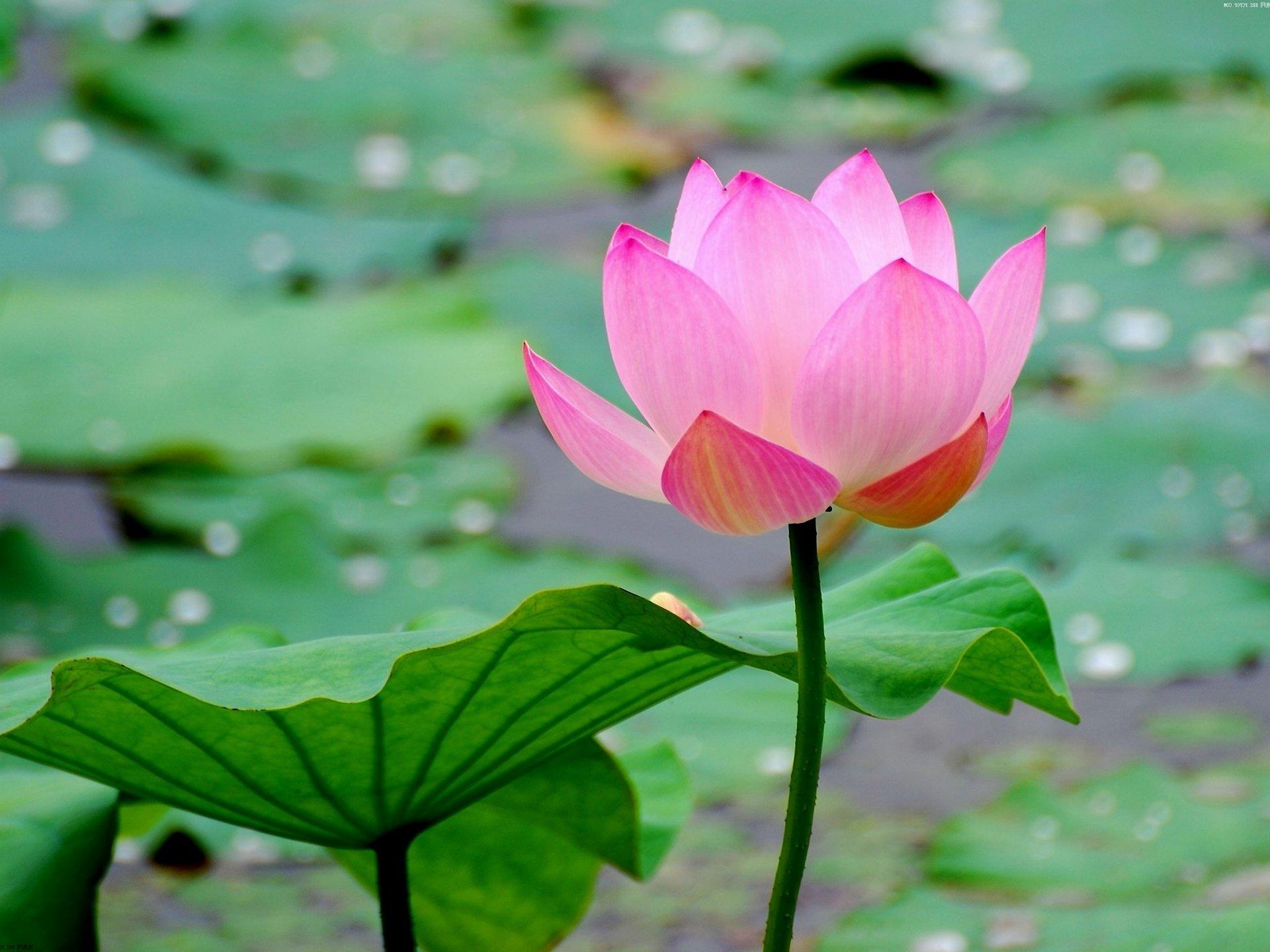 High Resolution Lotus Flower Hd 1920x1440 Wallpaper Id48392 For Desktop