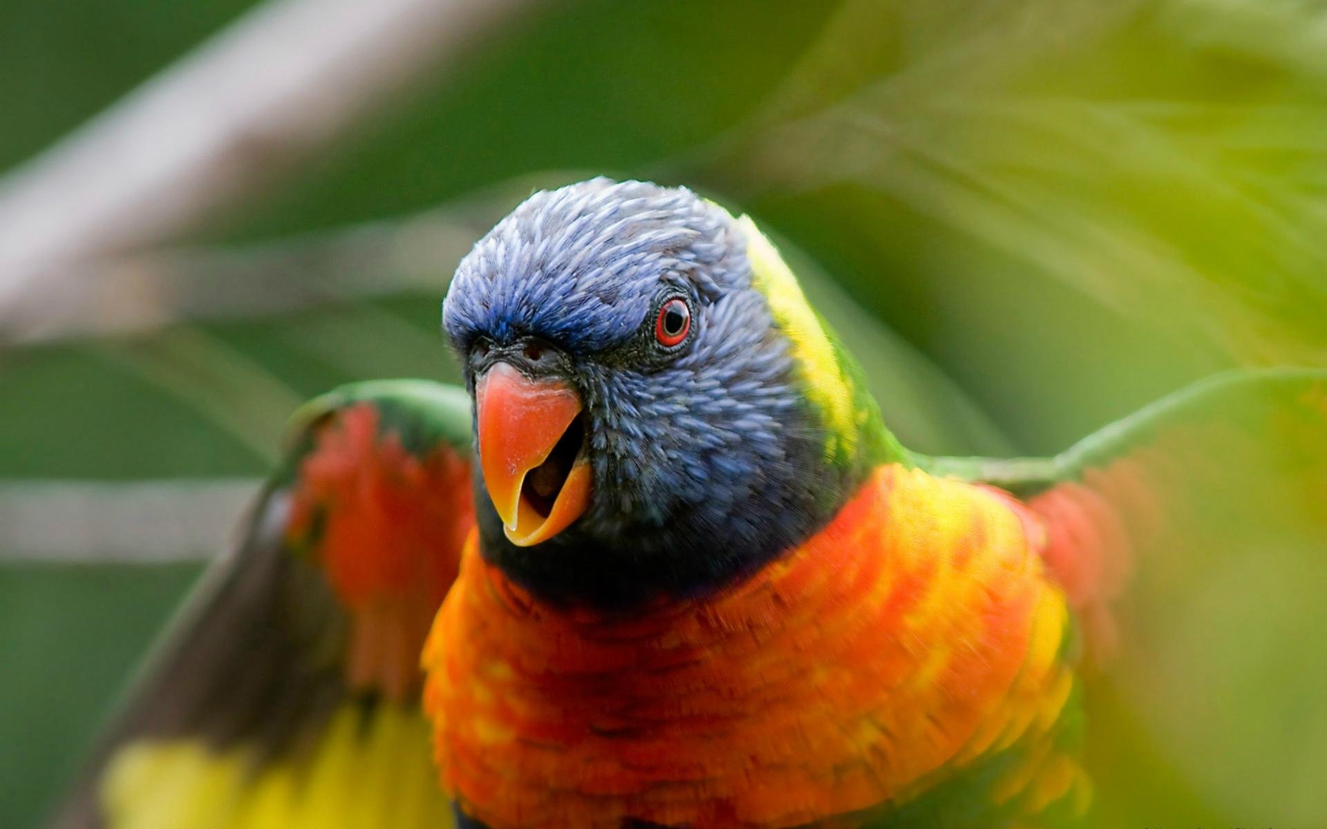 Free download Rainbow Lorikeet background ID:10136 hd 1920x1200 for PC