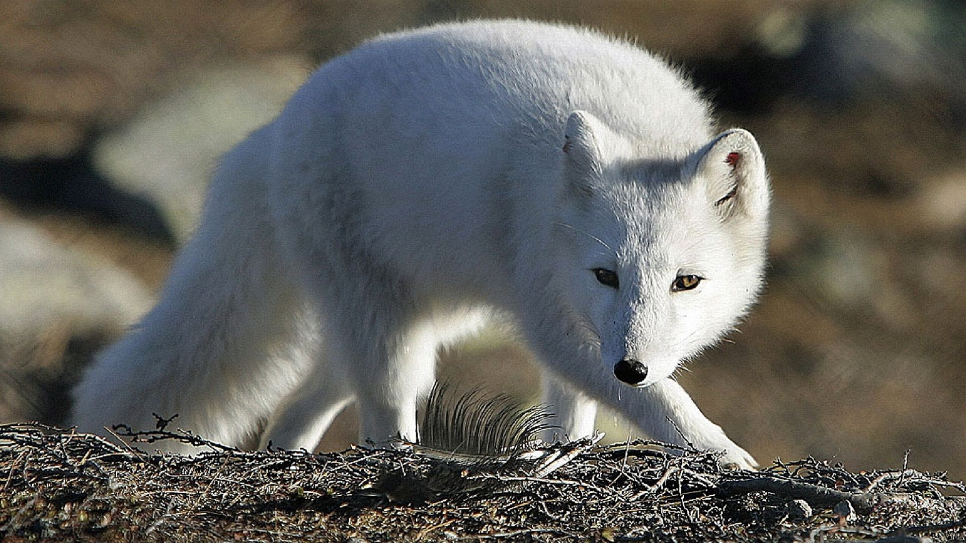 Download hd 1920x1080 Arctic Fox desktop wallpaper ID:98739 for free