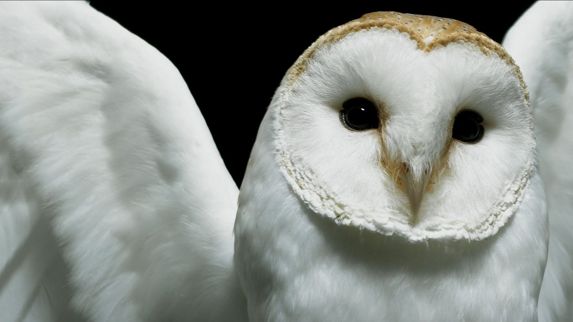 Best Barn Owl background ID:81571 for High Resolution hd 1920x1080 desktop