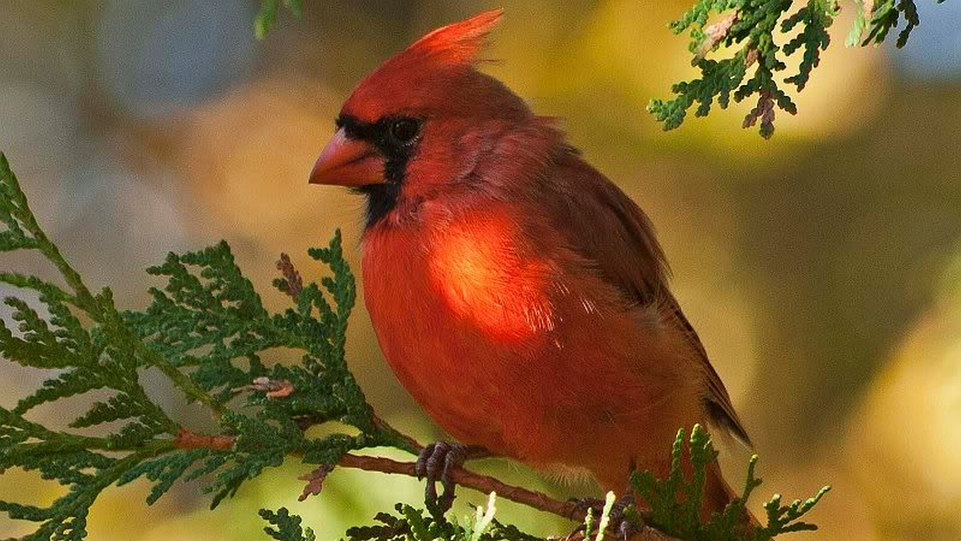 Best Cardinal background ID:24693 for High Resolution hd 1080p PC