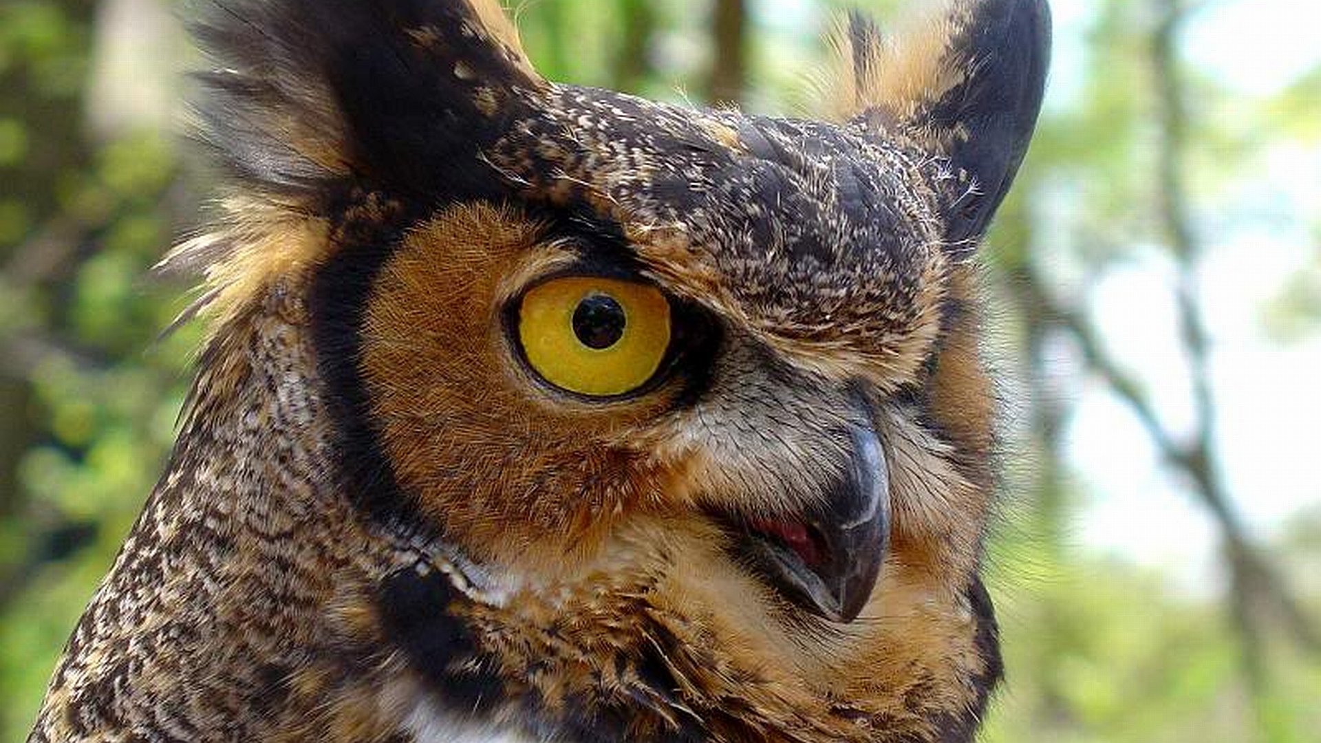 Free download Great Horned Owl wallpaper ID:297790 full hd 1080p for desktop