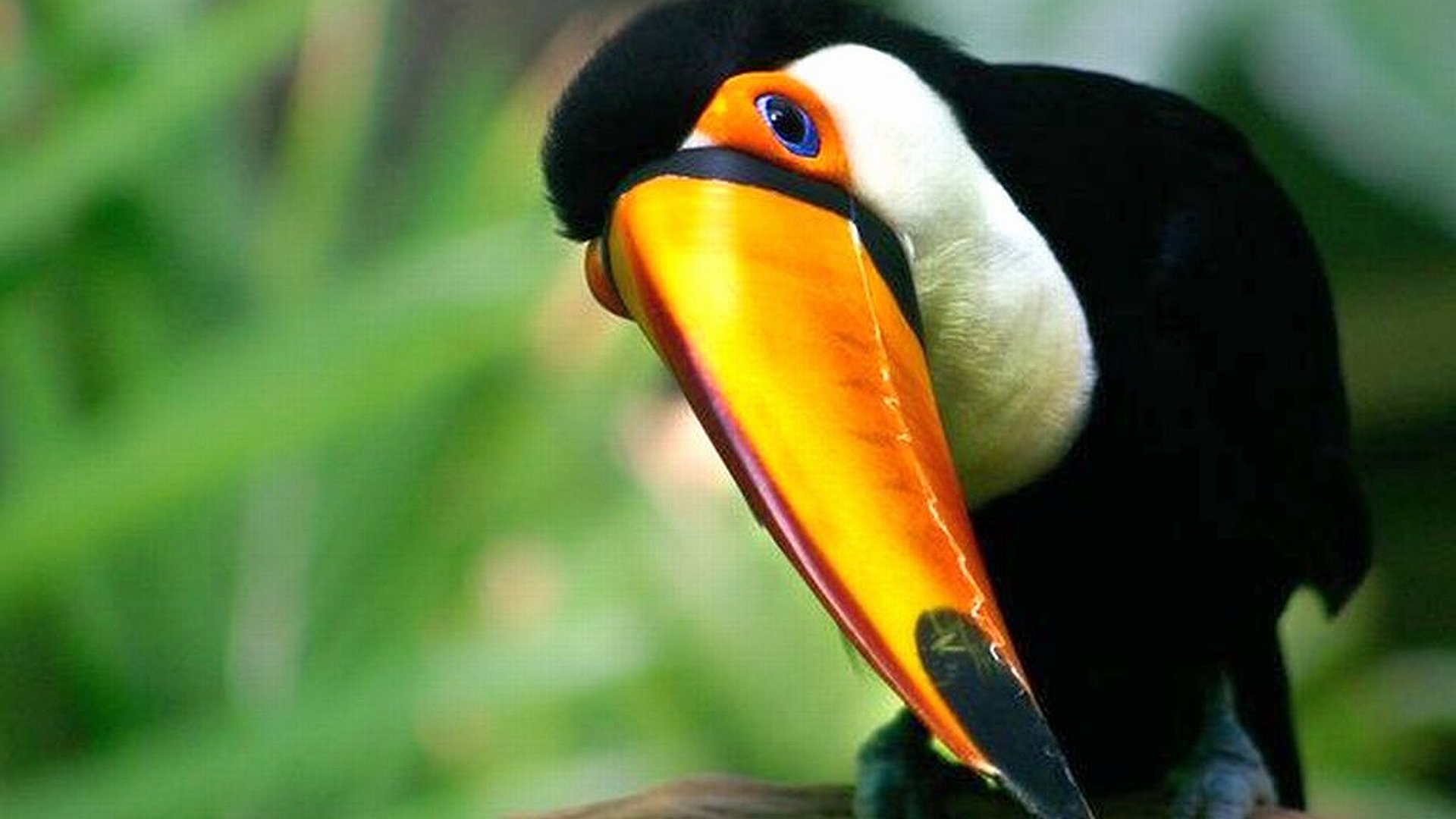 Awesome Toucan free wallpaper ID:57329 for full hd computer