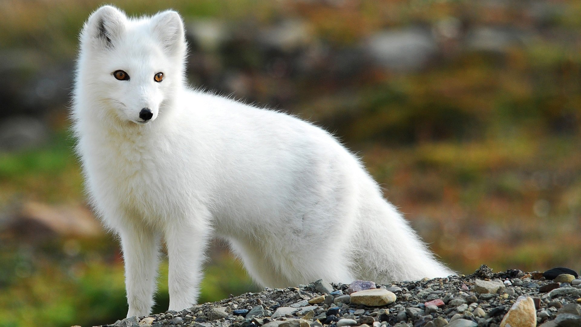 Download full hd Arctic Fox computer background ID:98736 for free