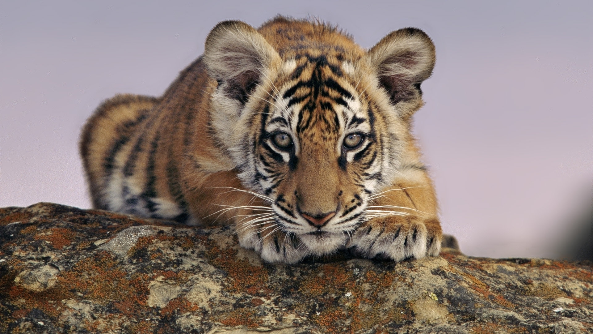 High resolution Tiger full hd 1080p wallpaper ID:116177 for PC