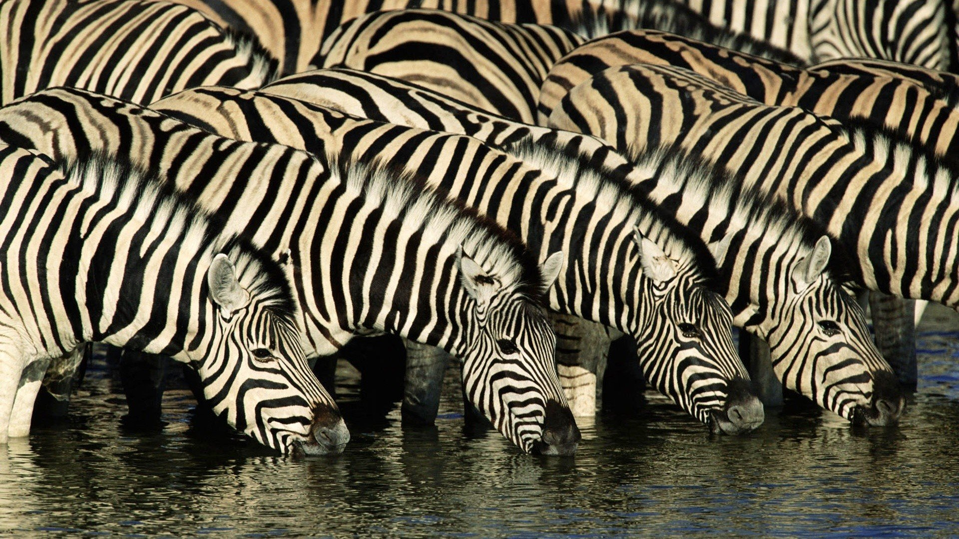 Free Zebra high quality background ID:73771 for 1080p desktop