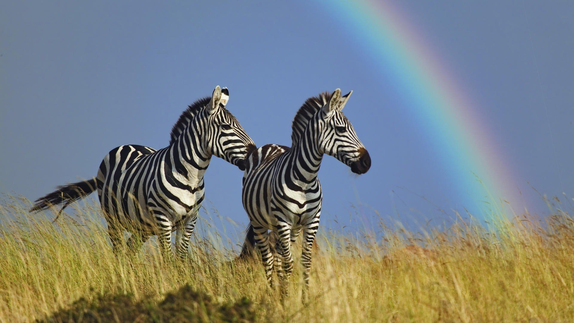 Awesome Zebra free background ID:73739 for hd 1920x1080 PC