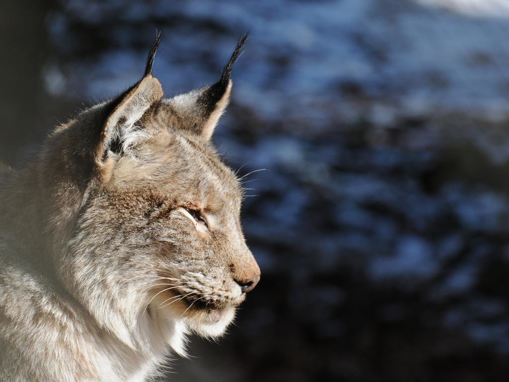 High resolution Lynx hd 1024x768 wallpaper ID:105916 for computer