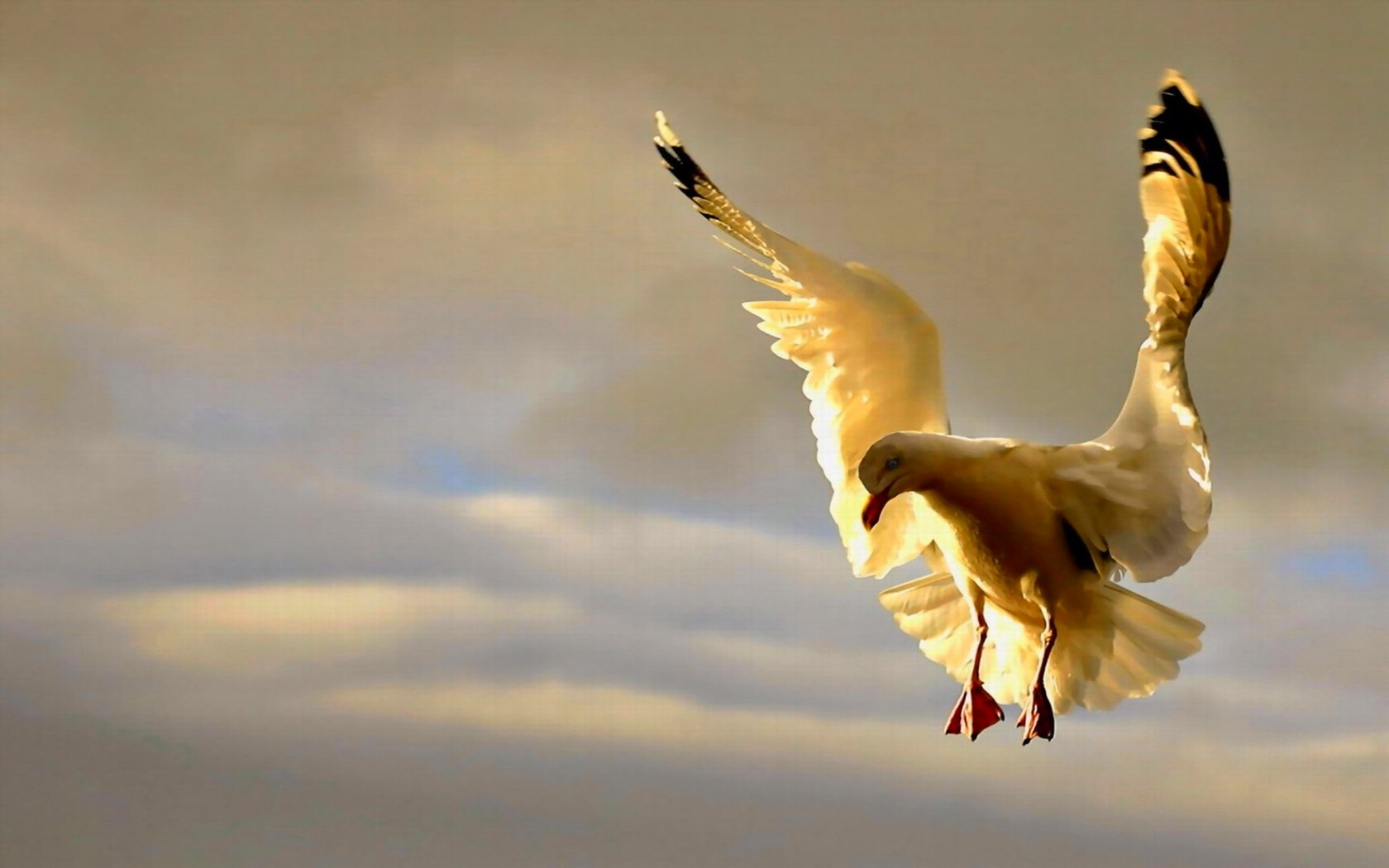High resolution Seagull hd 1680x1050 background ID:66997 for desktop