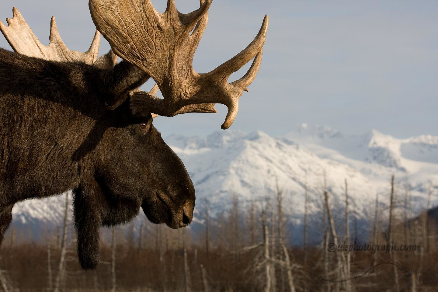 Best Moose wallpaper ID:346759 for High Resolution hd 1440x960 PC