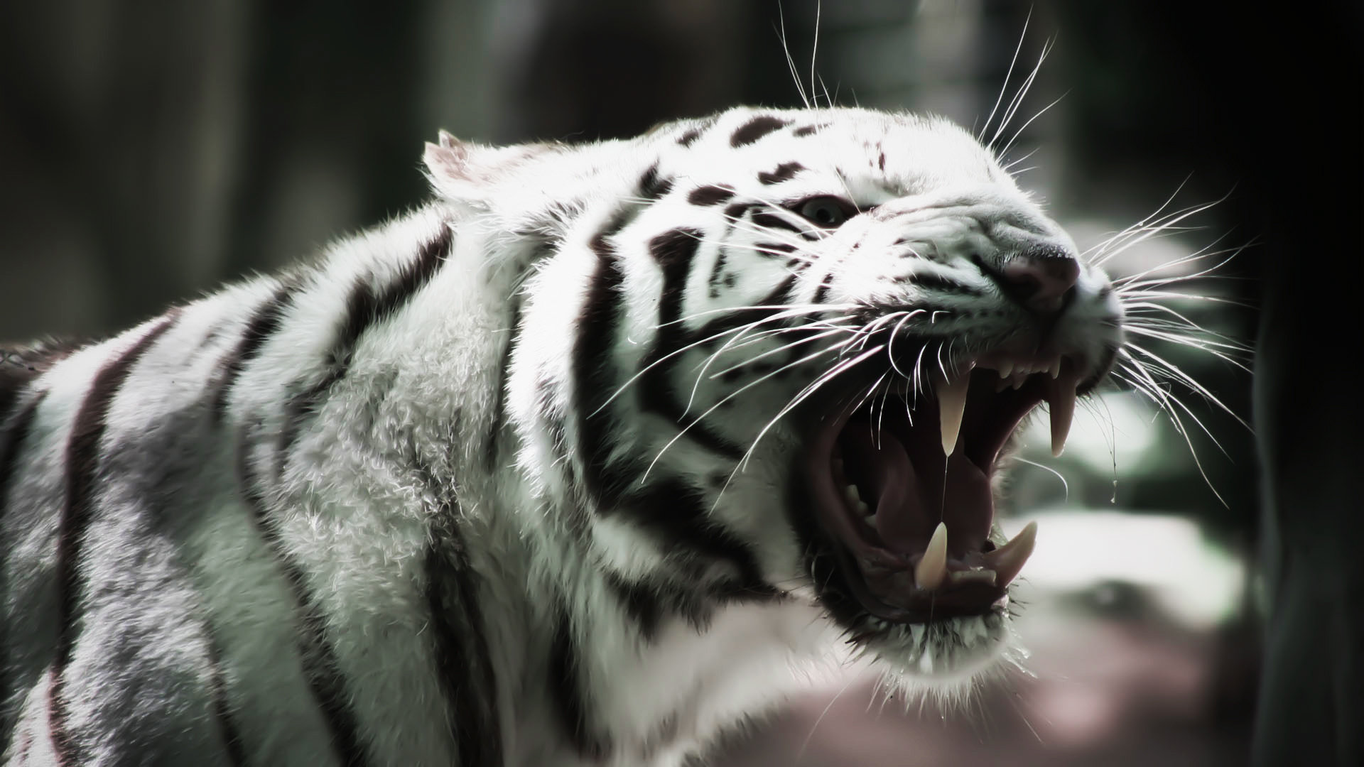 Download full hd 1920x1080 White Tiger computer wallpaper ID:174932 for free
