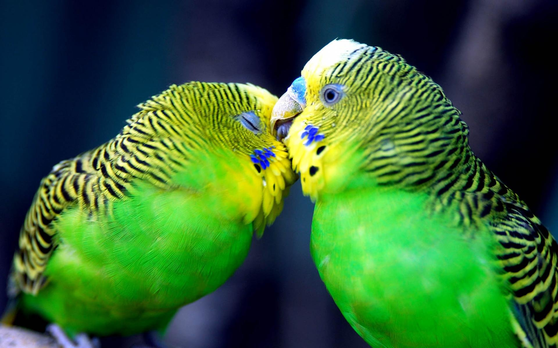 Best Budgerigar wallpaper ID:32587 for High Resolution hd 1920x1200 computer