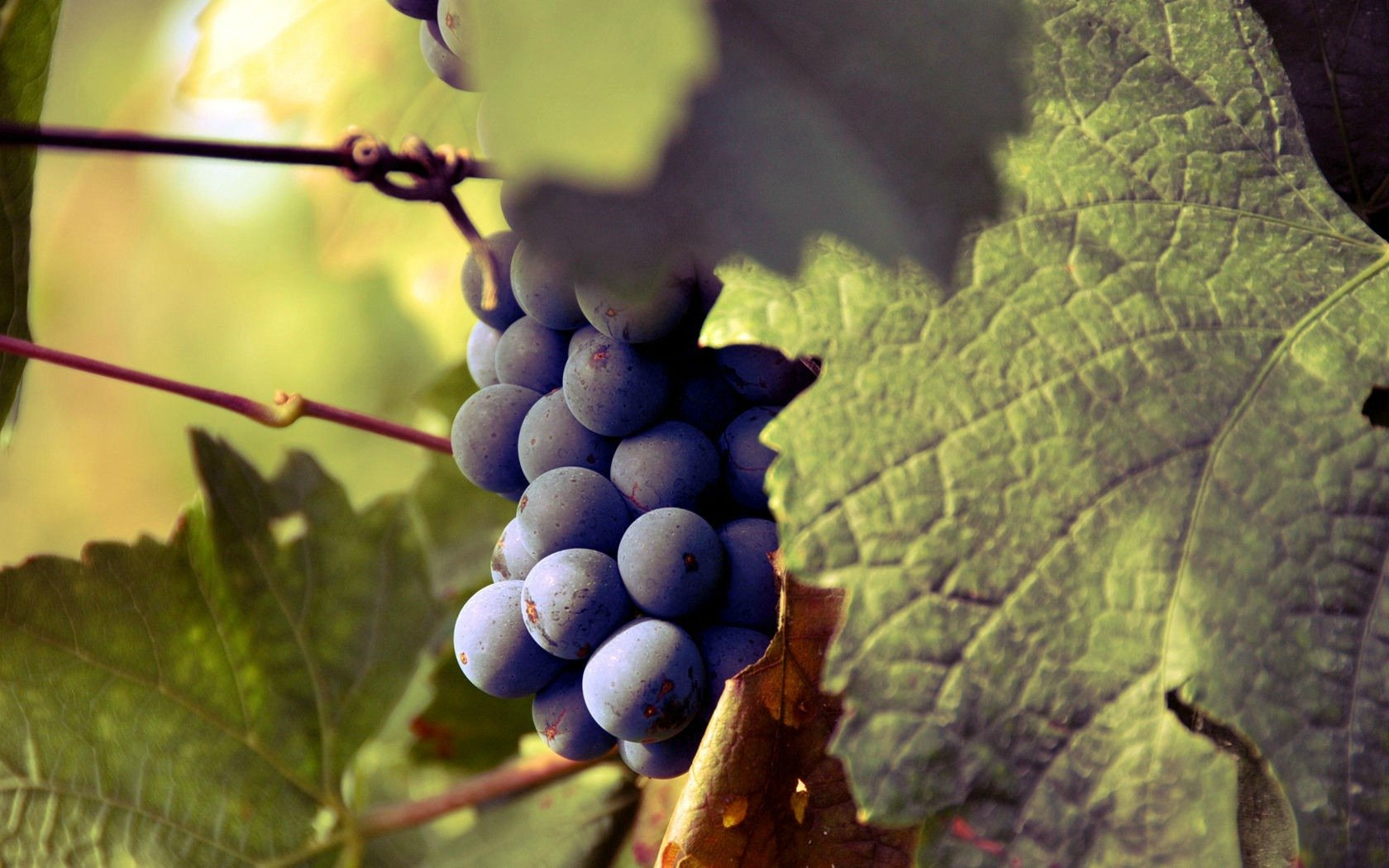 Awesome Grapes free background ID:420761 for hd 1680x1050 desktop