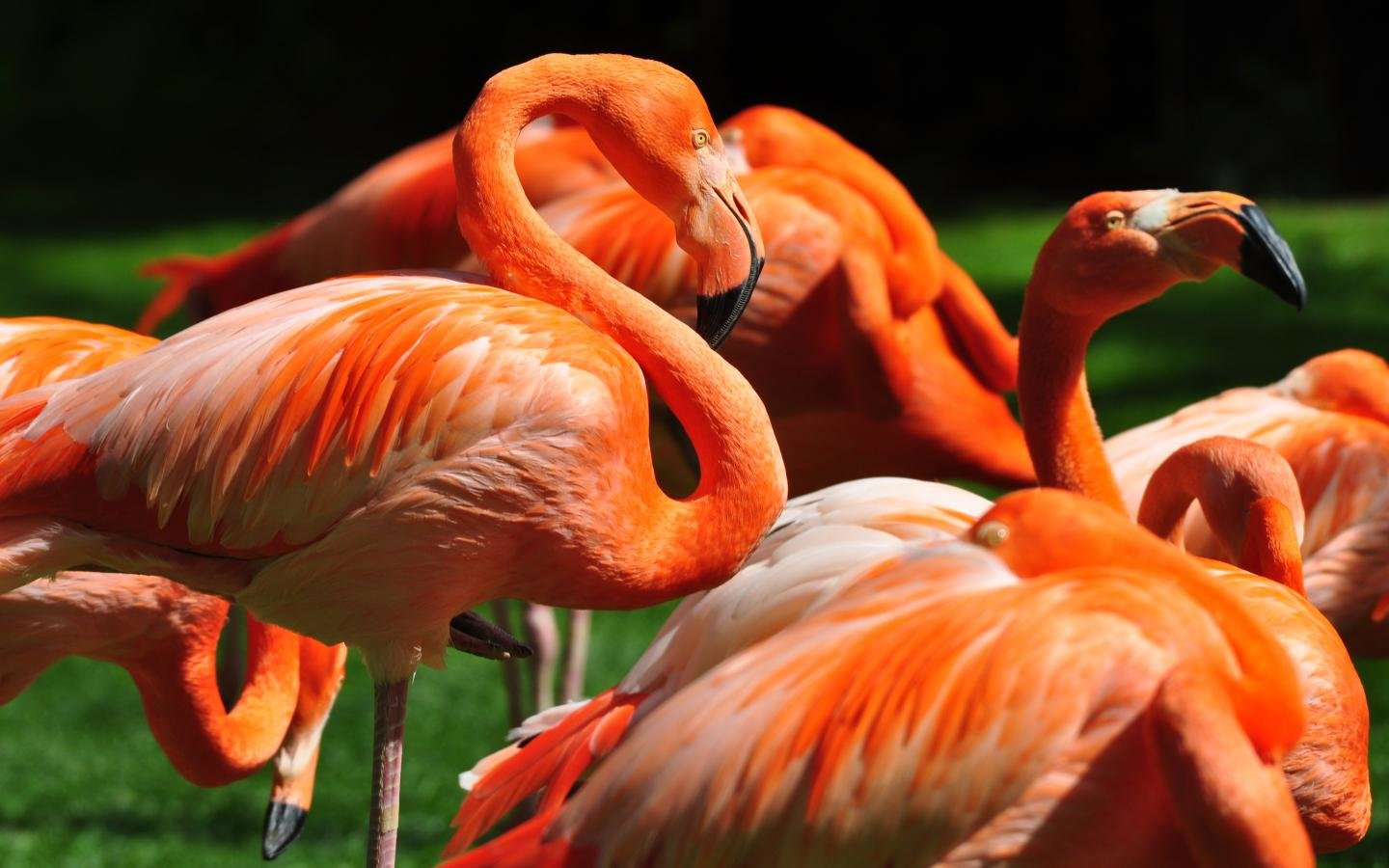 Awesome Flamingo free background ID:66657 for hd 1440x900 computer
