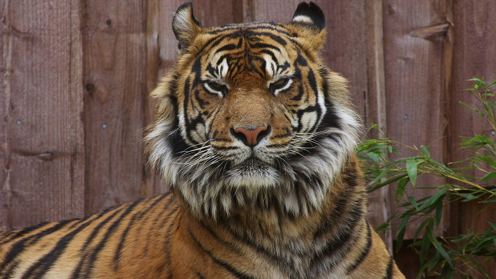 Awesome Tiger free background ID:116698 for full hd desktop