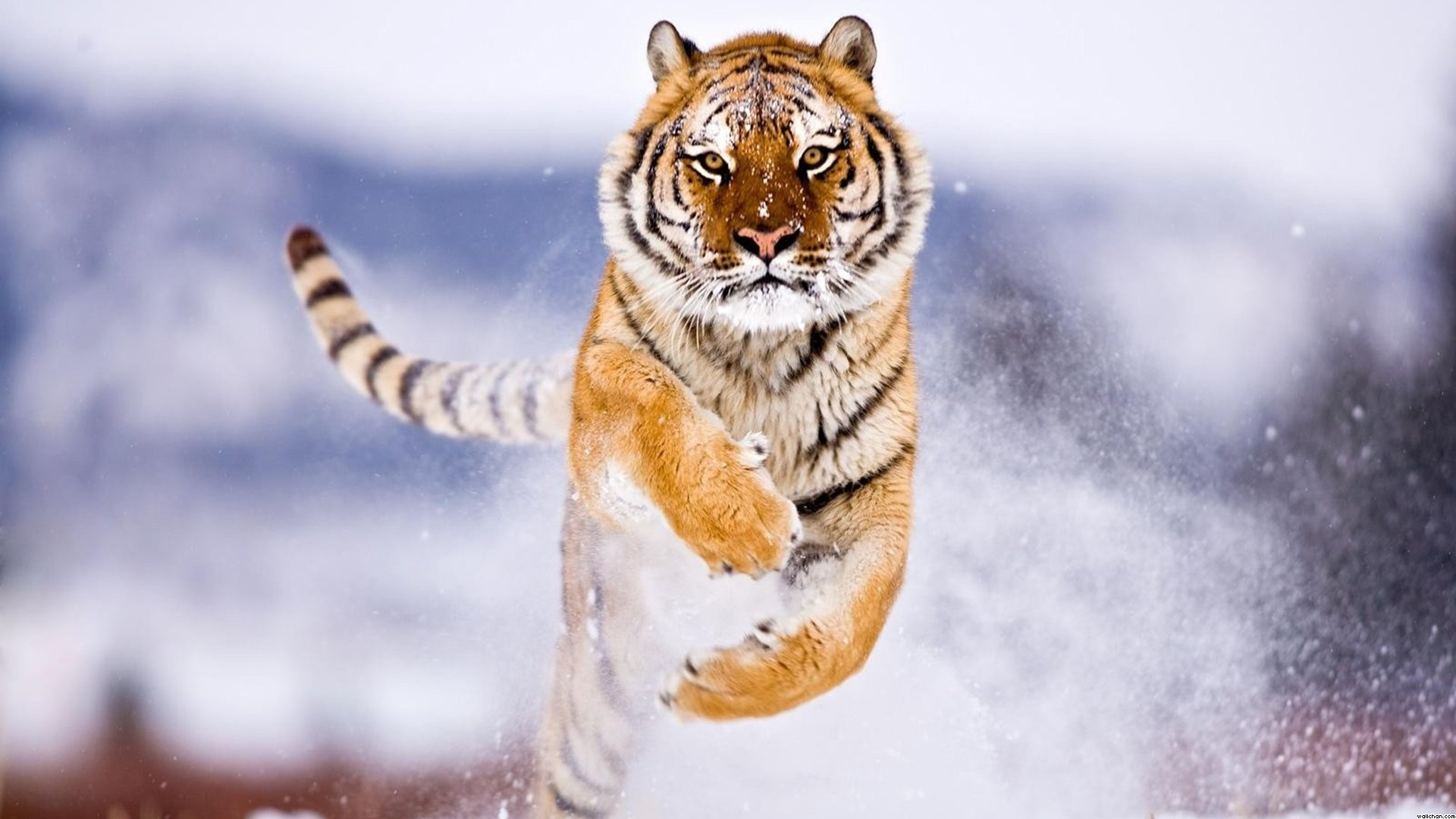 Free download Tiger wallpaper ID:116697 hd 1920x1080 for PC