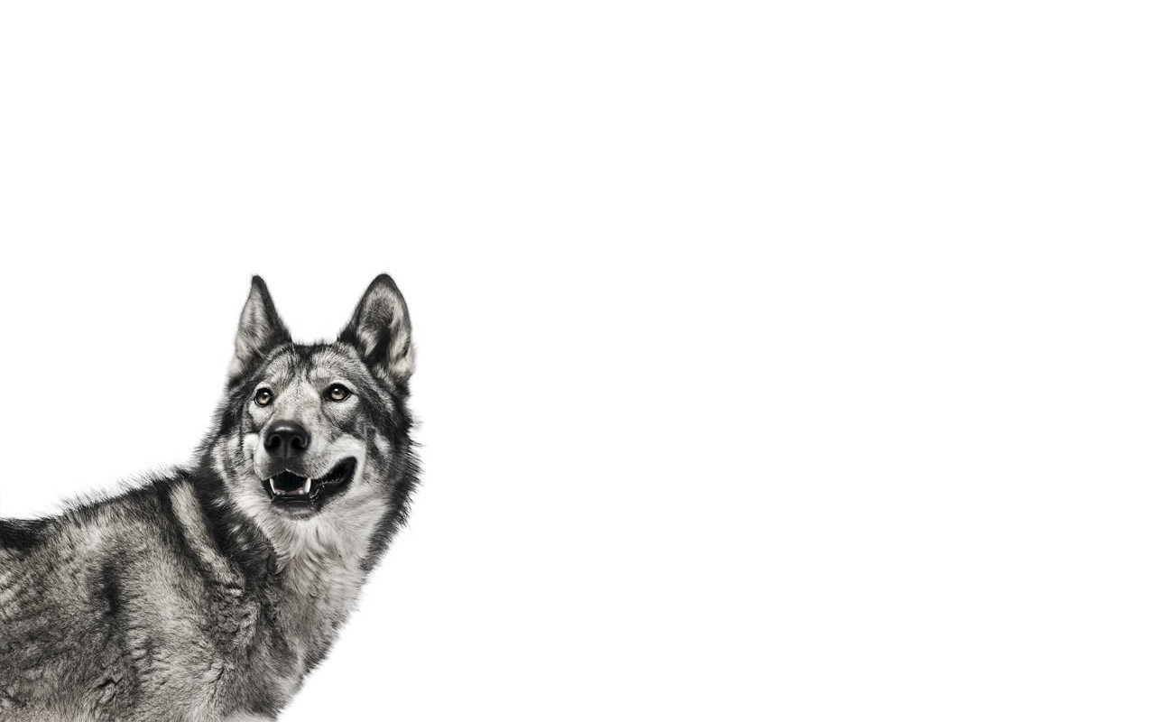 Free Wolf high quality background ID:117608 for hd 1280x800 desktop