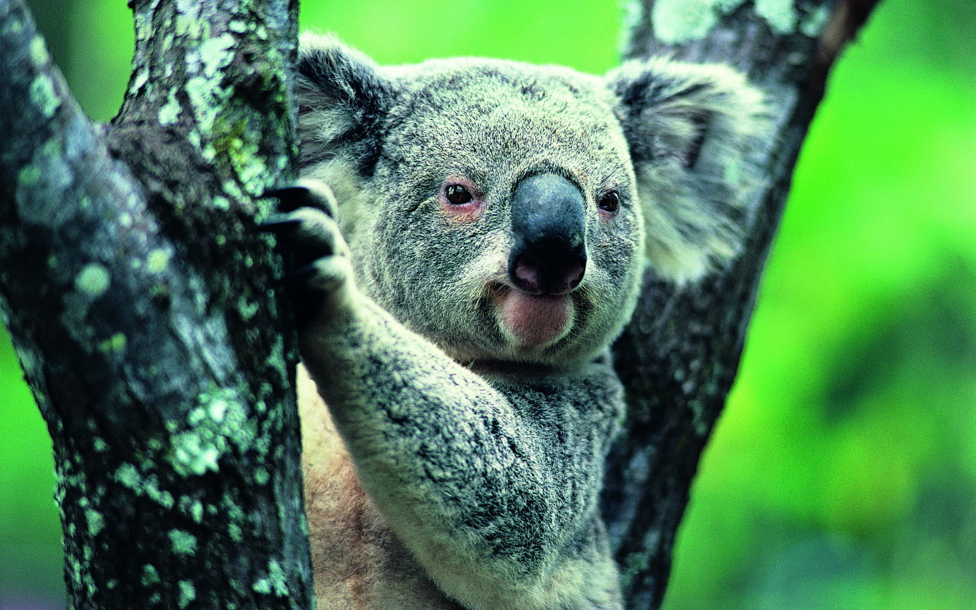 Download hd 1920x1200 Koala desktop wallpaper ID:74282 for free