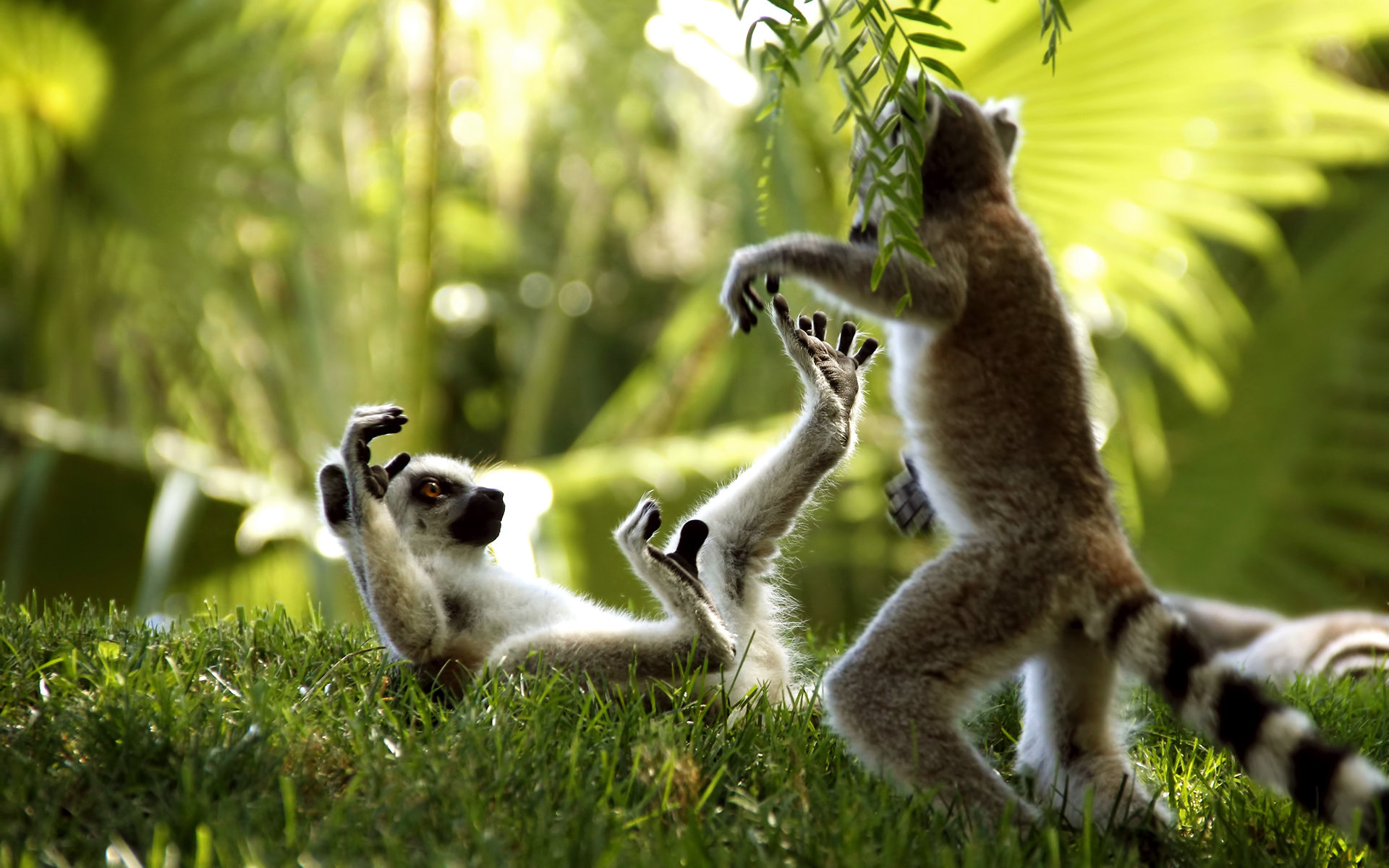 Download hd 1920x1200 Lemur PC background ID:53201 for free
