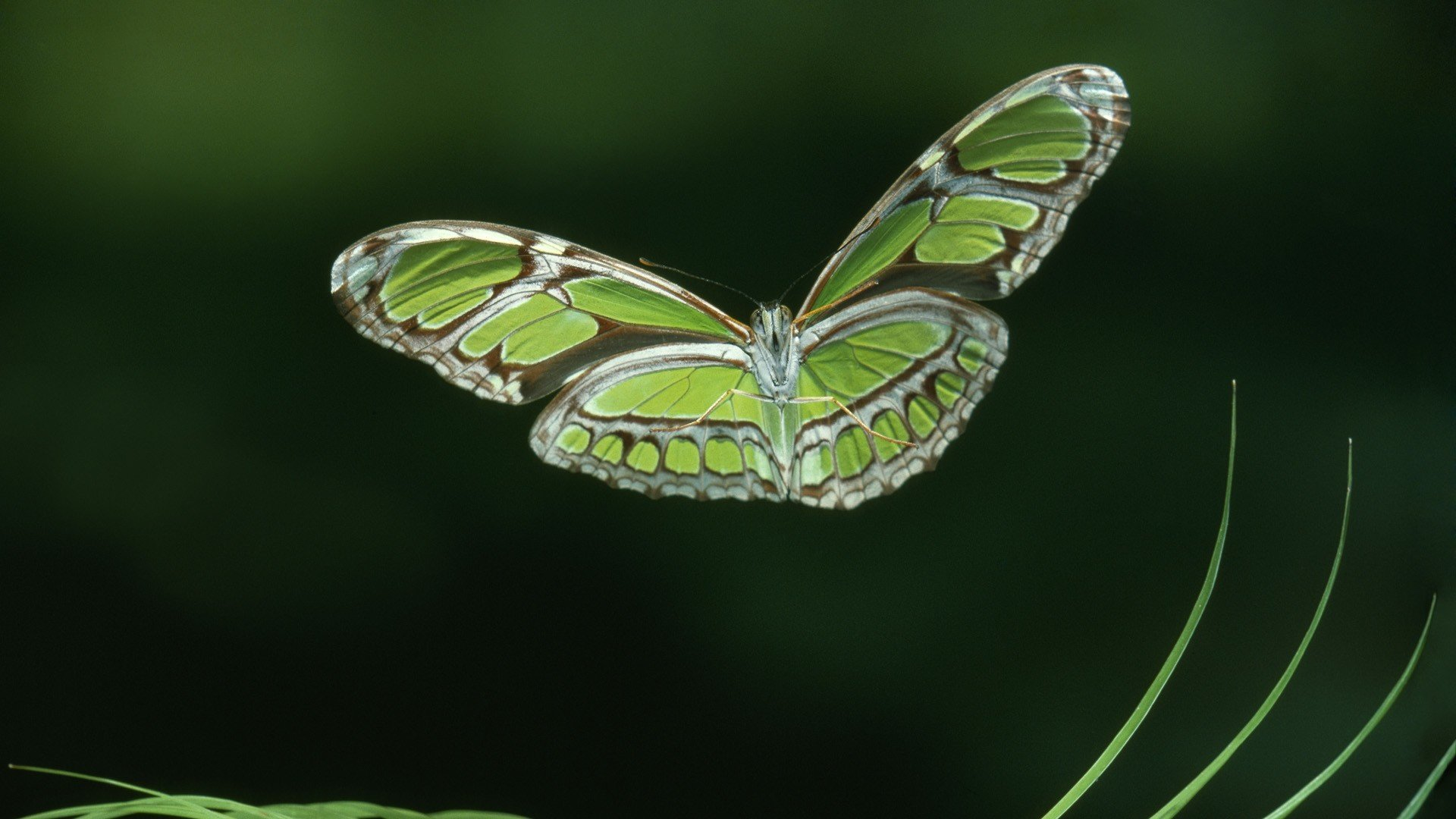 Free Butterfly high quality background ID:167903 for 1080p desktop