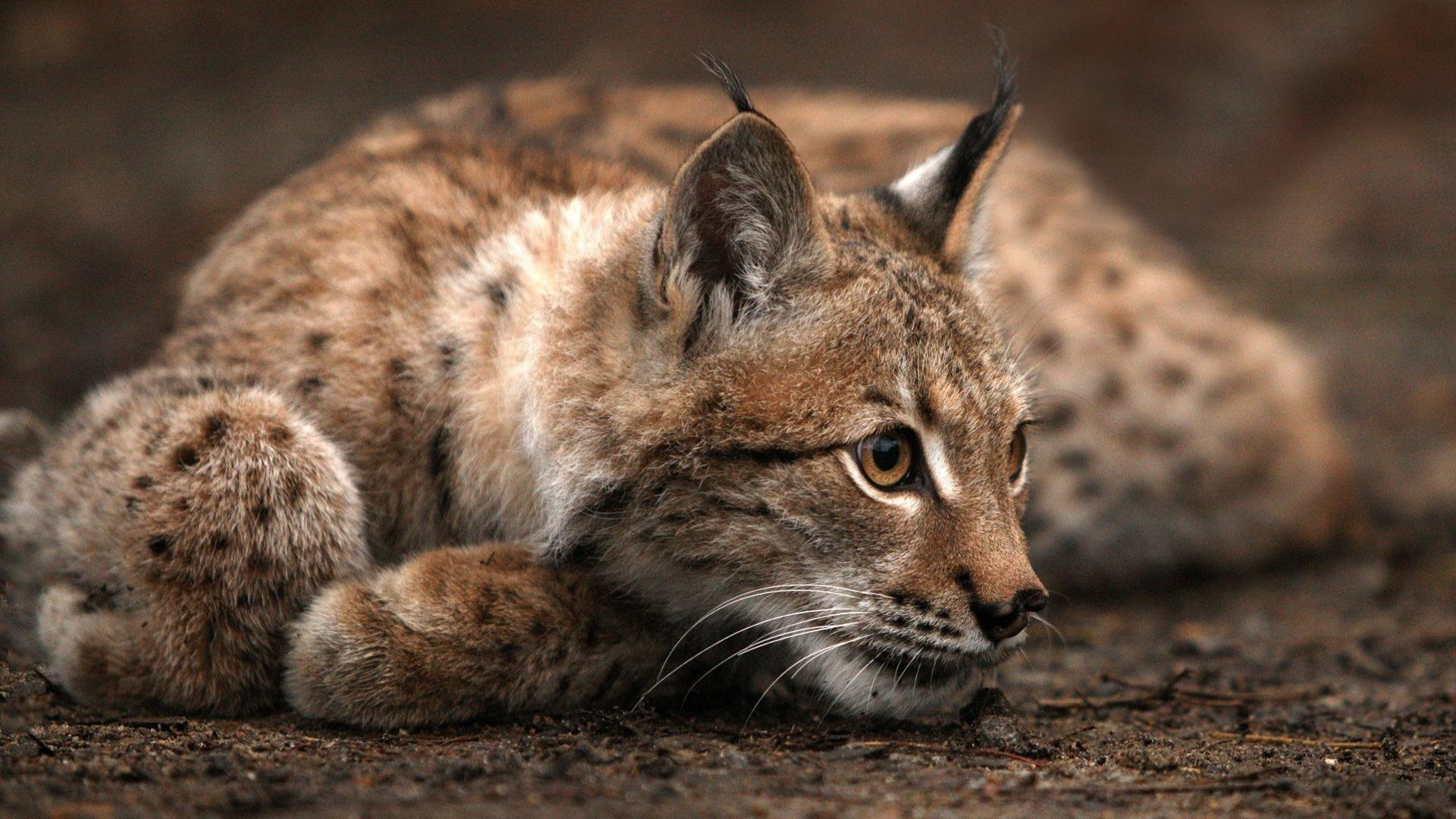 Download full hd 1920x1080 Lynx desktop background ID:105798 for free