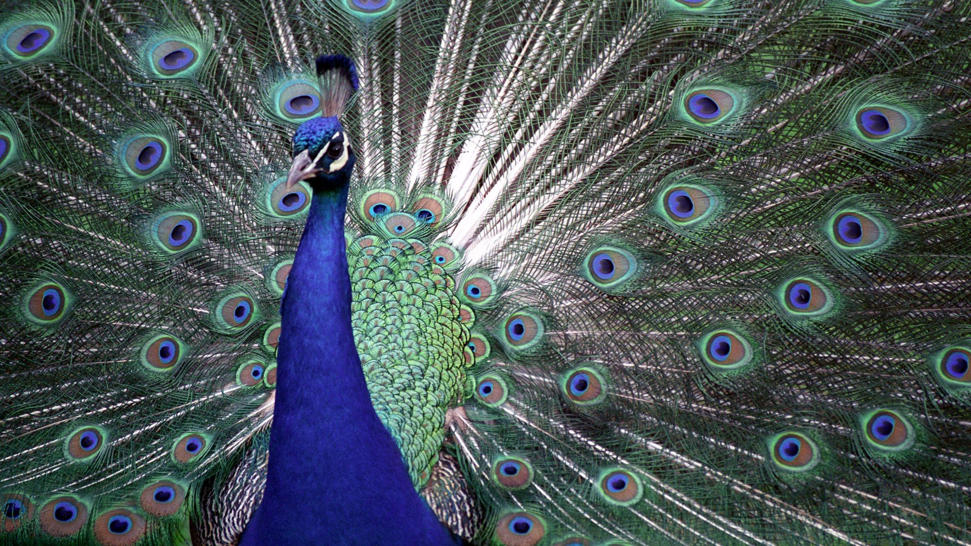 Awesome Peacock free wallpaper ID:151778 for hd 1080p desktop