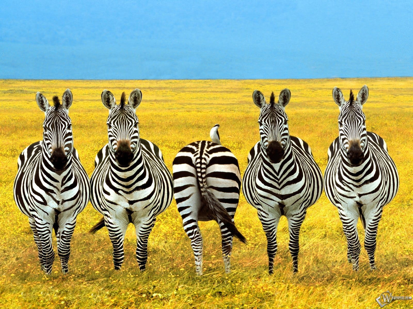 Free download Zebra wallpaper ID:73770 hd 1600x1200 for computer