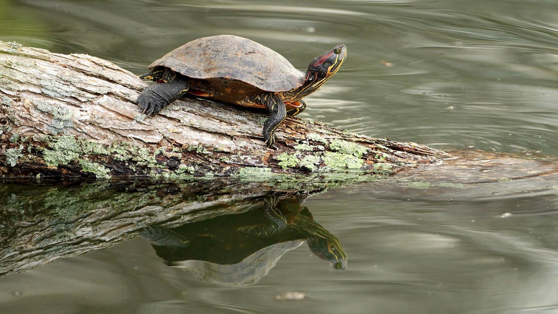 High resolution Turtle 1080p background ID:29960 for desktop