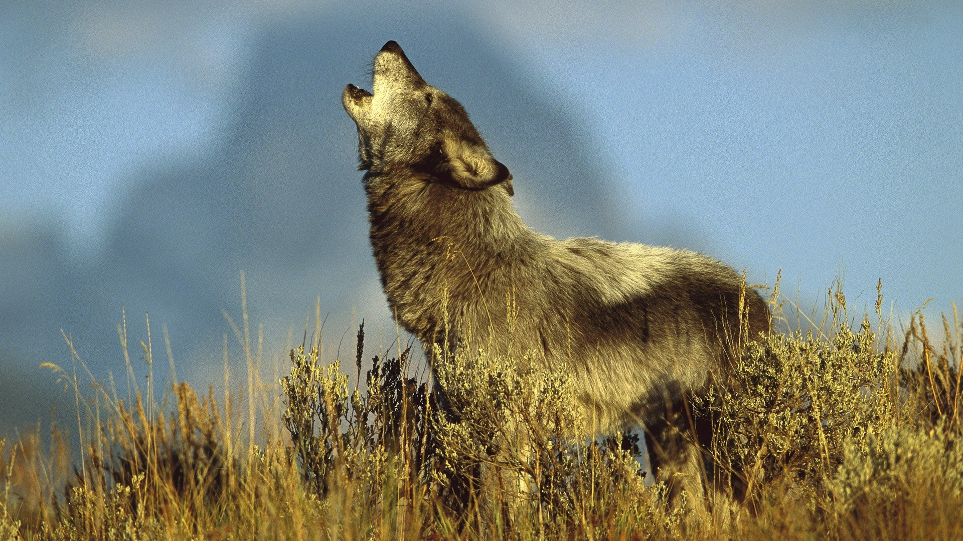 Download full hd 1920x1080 Wolf PC background ID:118322 for free