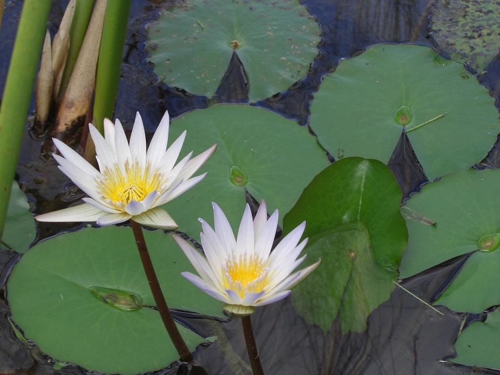 High resolution Water Lily hd 1024x768 wallpaper ID:366117 for PC