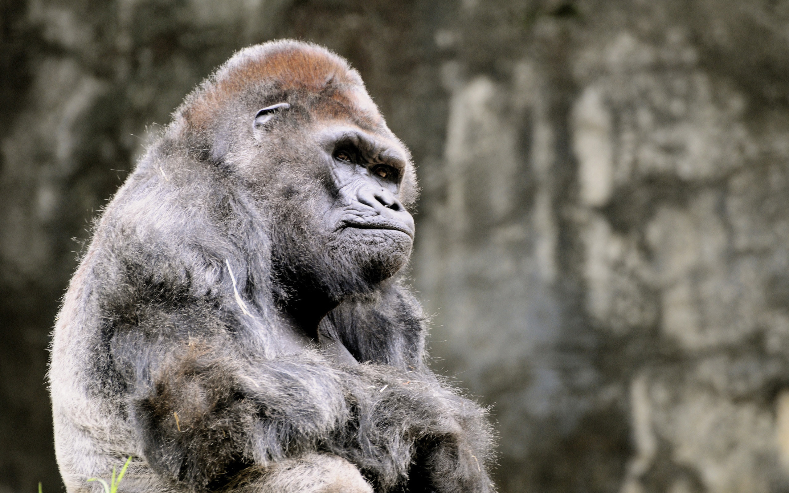 Free Gorilla high quality wallpaper ID:145554 for hd 2560x1600 PC