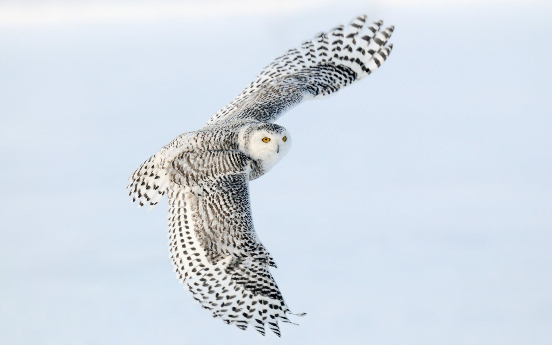 Awesome Snowy Owl free wallpaper ID:26817 for hd 1920x1200 computer