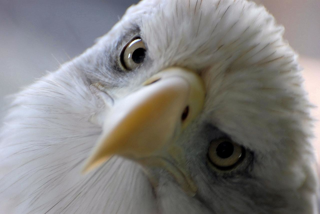 Awesome Eagle free background ID:231189 for hd 1280x854 PC