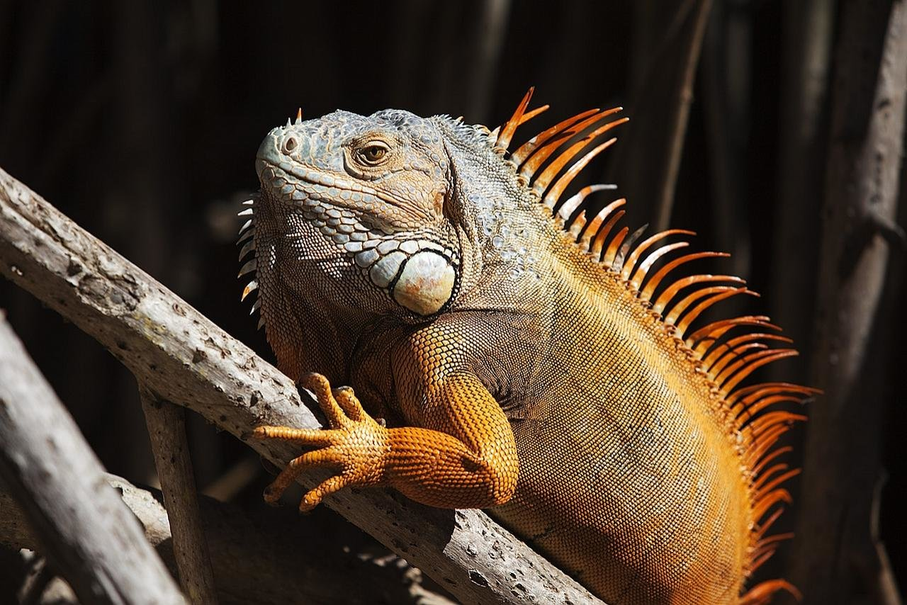 High resolution Iguana hd 1280x854 background ID:380947 for computer