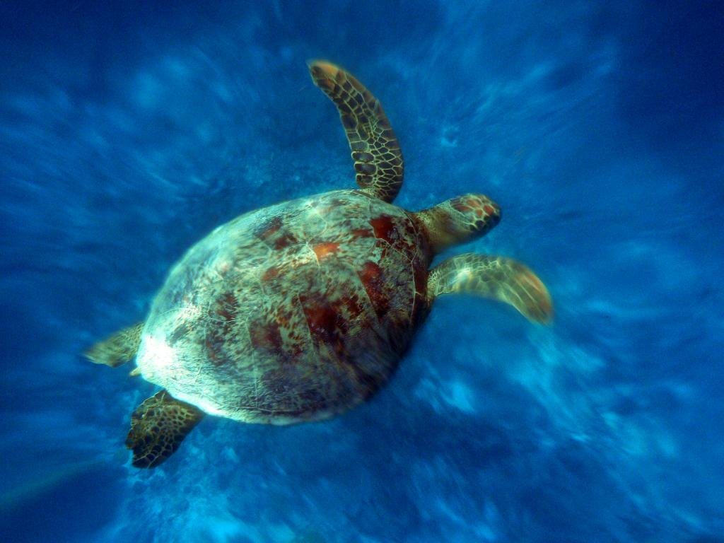 Free download Turtle background ID:29870 hd 1024x768 for desktop