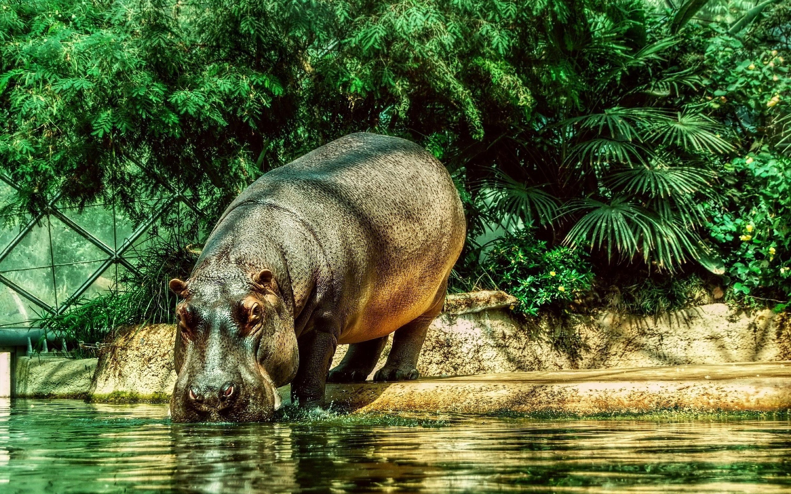 Free Hippo high quality background ID:28783 for hd 2560x1600 desktop