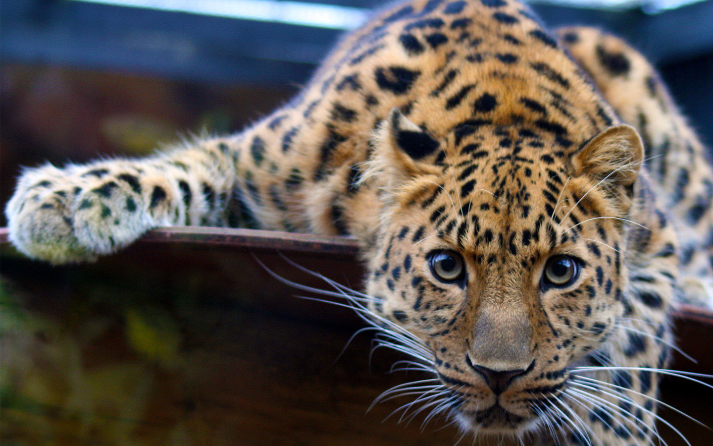 Awesome Leopard free background ID:447791 for hd 1440x900 desktop