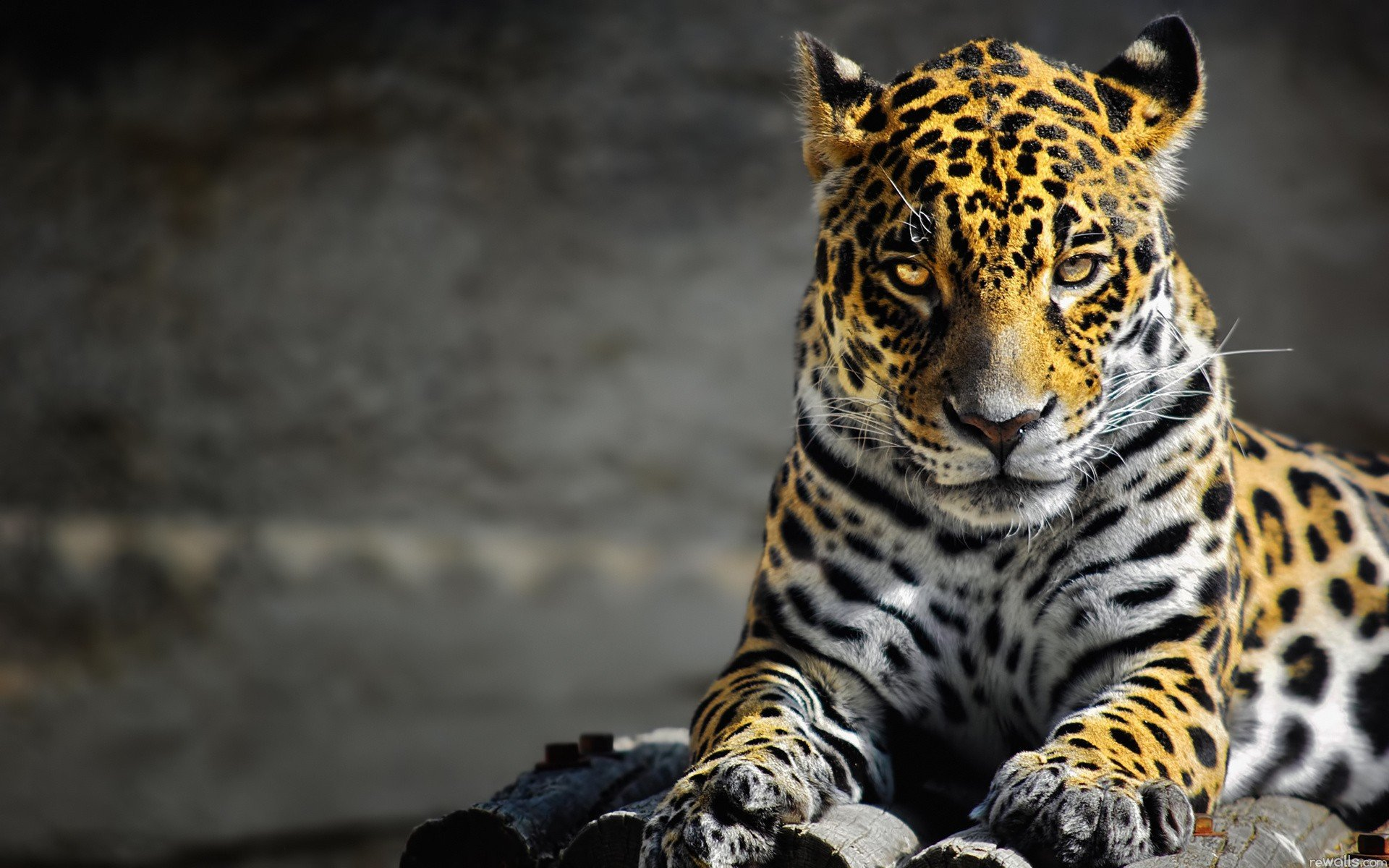 High resolution Leopard hd 1920x1200 background ID:448436 for desktop