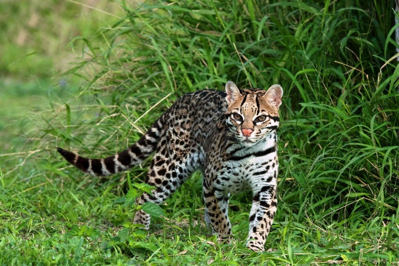 Free download Ocelot background ID:146301 hd 1280x854 for desktop