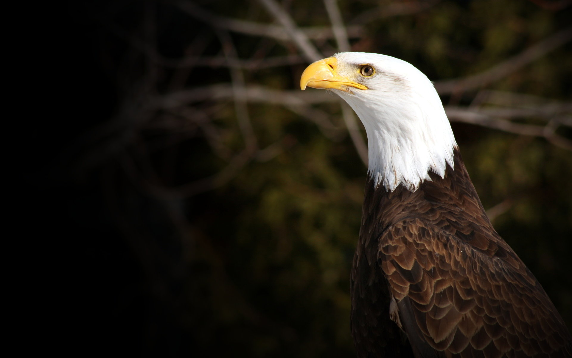 Download hd 1920x1200 American Bald Eagle computer background ID:68740 for free