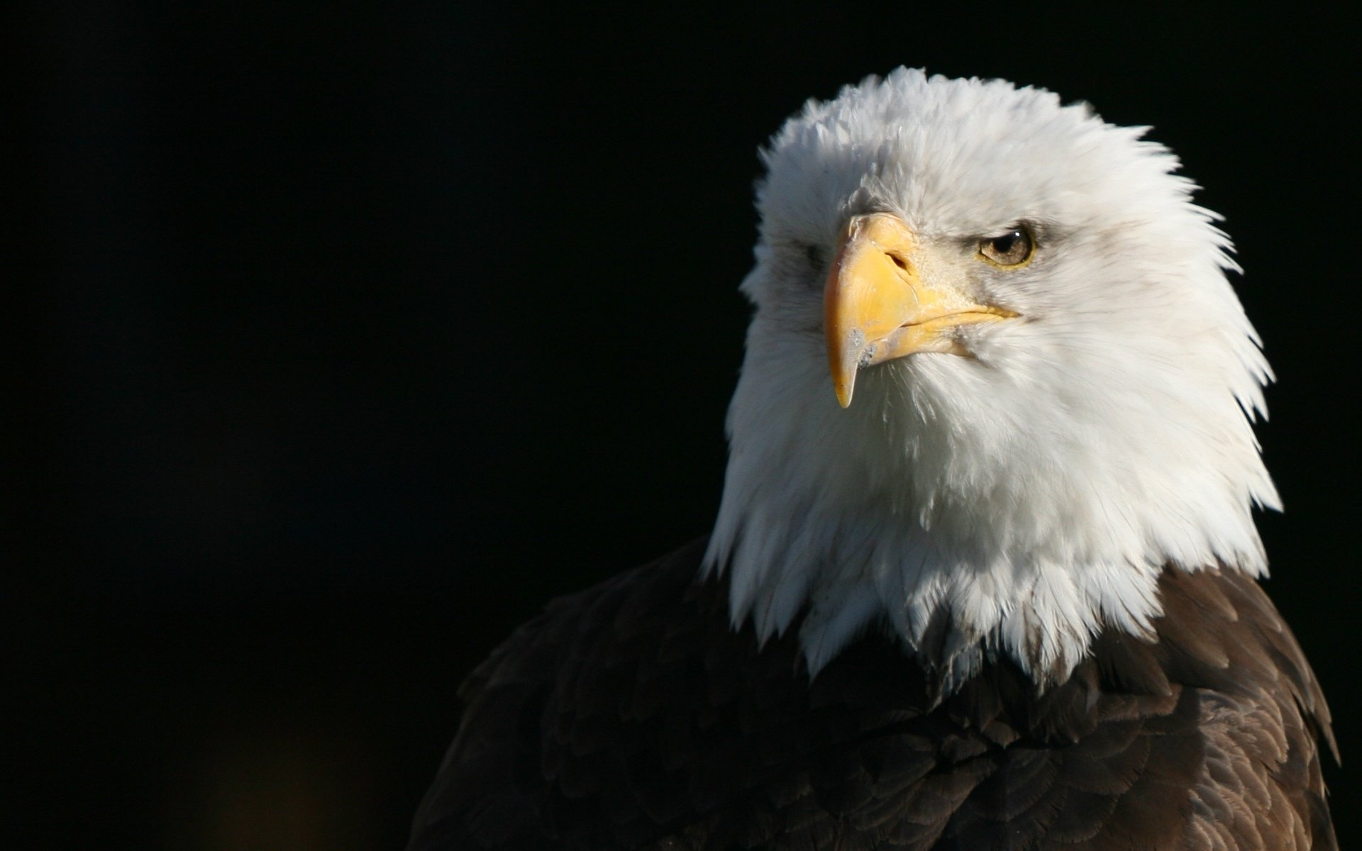 Awesome American Bald Eagle free wallpaper ID:68794 for hd 1920x1200 desktop